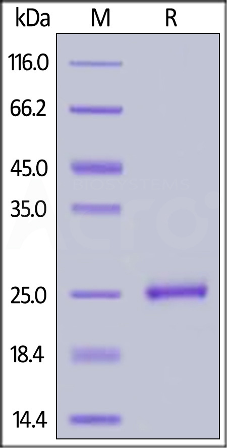 Human 4-1BB Ligand, His Tag (Cat. No. 41L-H5249) SDS-PAGE gel