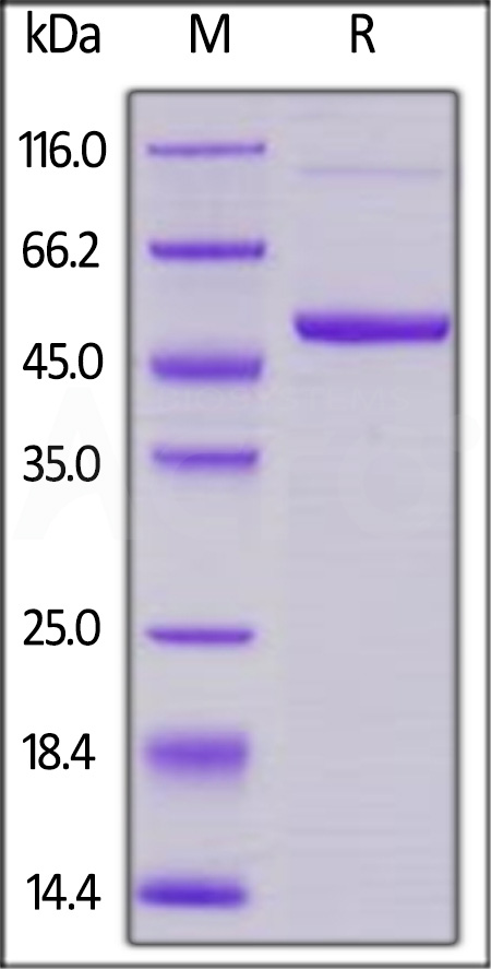 Human 4-1BB Ligand, Mouse IgG2a Fc Tag, low endotoxin (Cat. No. 41L-H5254) SDS-PAGE gel