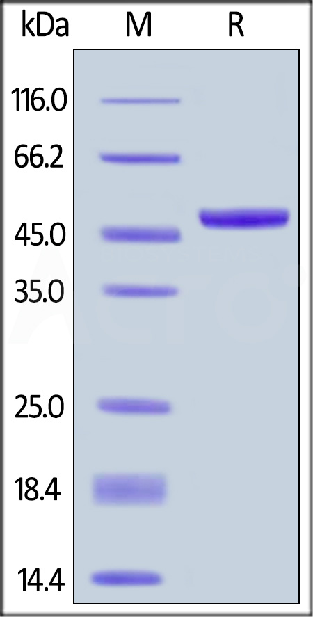 Biotinylated Human APRIL, Fc,Avitag (Cat. No. APL-H82F5) SDS-PAGE gel