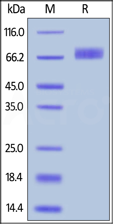 Human B7-H3 (4Ig), His Tag (Cat. No. B7B-H52E7) SDS-PAGE gel