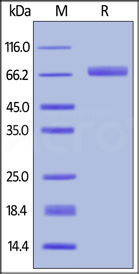 Biotinylated Human B7-H3 (4Ig), His,Avitag (Cat. No. B7B-H82E8) SDS-PAGE gel