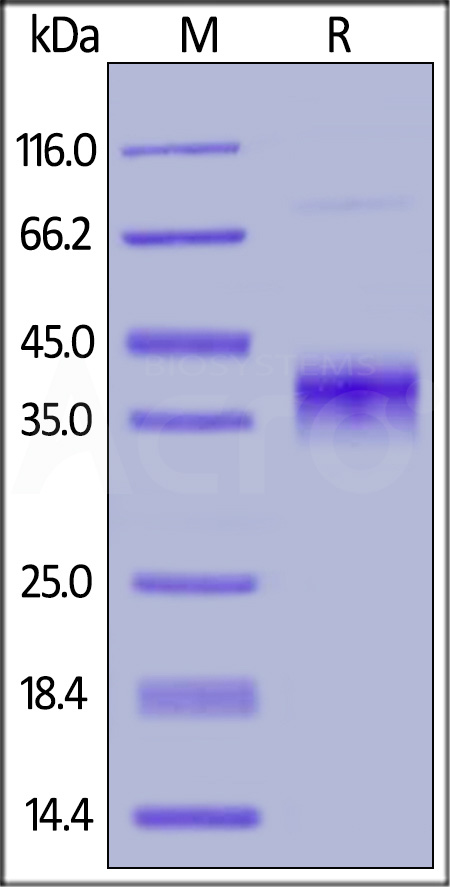 Human BCMA, Fc Tag (HPLC verified) (Cat. No. BC7-H5254) SDS-PAGE gel