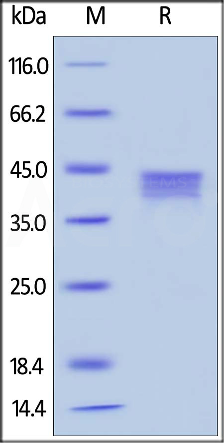 Biotinylated Human BCMA, Fc,Avitag™ (Cat. No. BC7-H82F0) SDS-PAGE gel