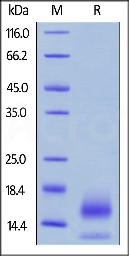 Biotinylated Human BCMA, His,Avitag™ (Cat. No. BCA-H82E4) SDS-PAGE gel