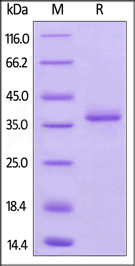 Mouse BCMA, Fc Tag (Cat. No. BCA-M5258) SDS-PAGE gel