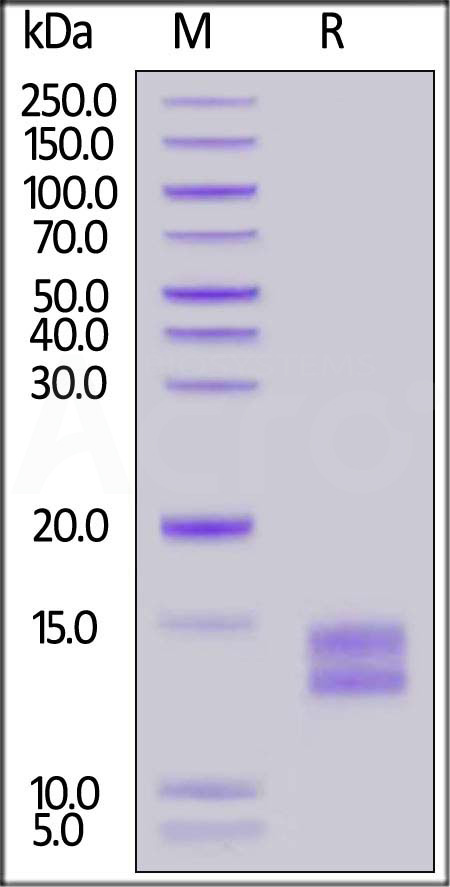 Mouse BCMA, His Tag (Cat. No. BCA-M52H3) SDS-PAGE gel