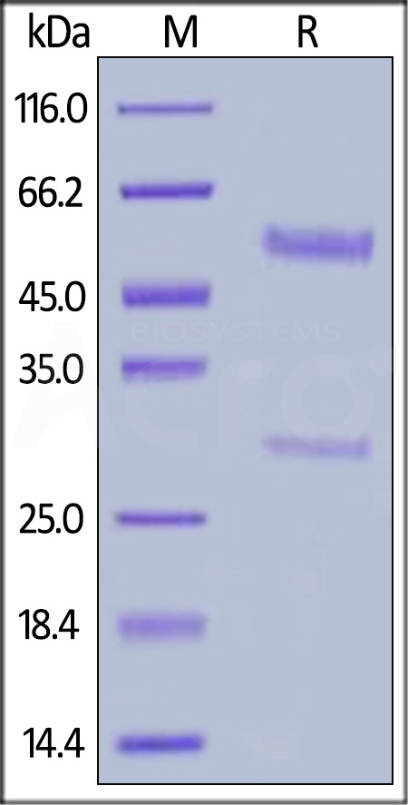 Biotinylated Anti-Bevacizumab Antibodies (recommended for PK/PD) (Cat. No. BEB-BY13) SDS-PAGE gel