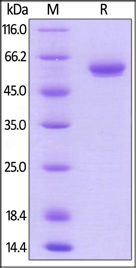 Biotinylated Human BTN3A1, Fc,Avitag (Cat. No. BT1-H82F7) SDS-PAGE gel