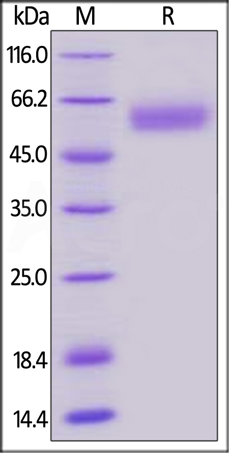 Biotinylated Human BTLA (31-150), Fc,Avitag (Cat. No. BTA-H82F3) SDS-PAGE gel