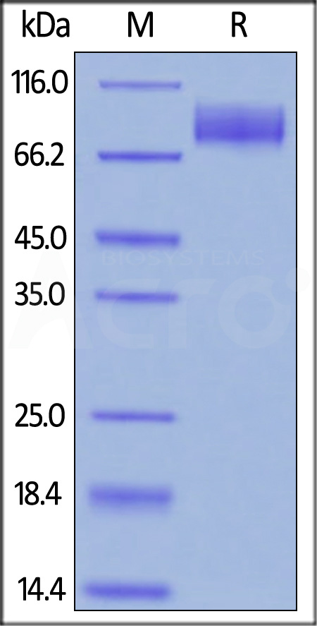 Biotinylated Human CA125, Fc,Avitag (Cat. No. CA5-H82F4) SDS-PAGE gel