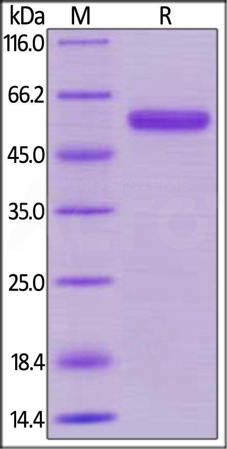 Human CD40, Mouse IgG2a Fc Tag, low endotoxin (MALS verified) (Cat. No. CD0-H525a) SDS-PAGE gel