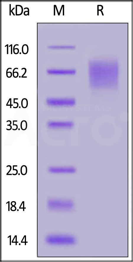 Biotinylated Human CD30, Avitag,His Tag (Cat. No. CD0-H82E6) SDS-PAGE gel