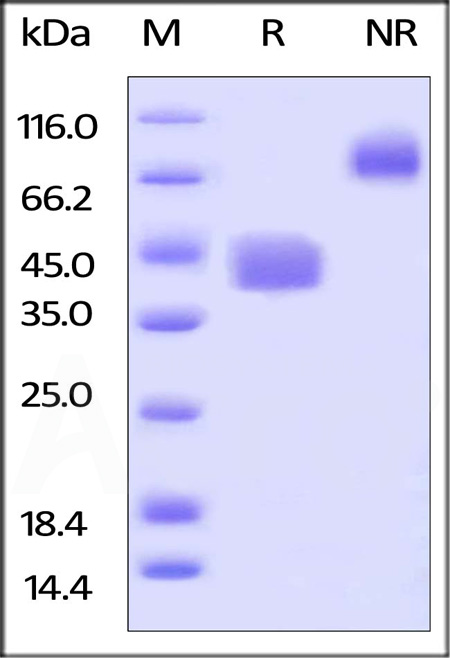 Biotinylated Human CD52, Fc,Avitag (Cat. No. CD2-H82F3) SDS-PAGE gel