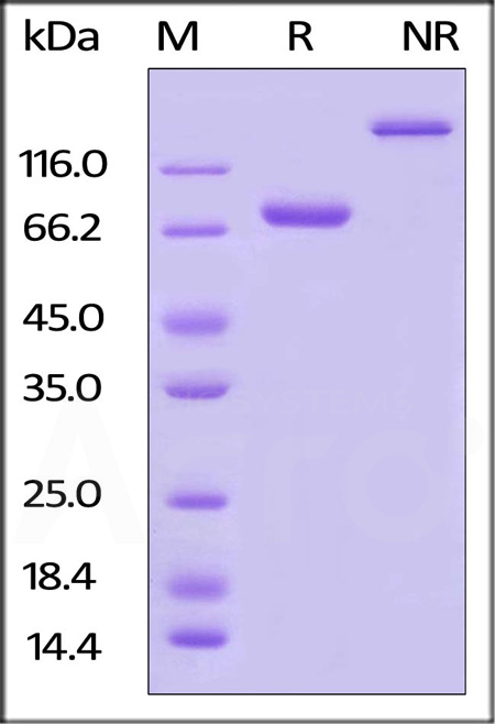 Biotinylated Human Nectin-2, Fc,Avitag (Cat. No. CD2-H82F8) SDS-PAGE gel