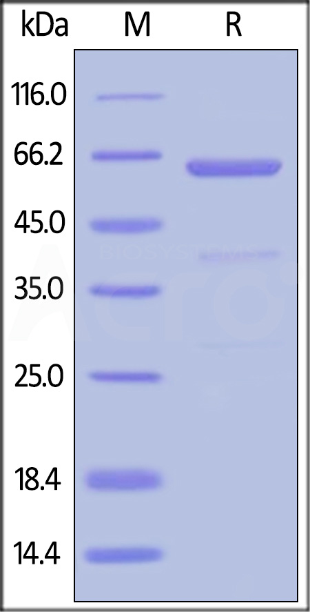 Human CD73, His Tag (HPLC-verified) (Cat. No. CD3-H52H7) SDS-PAGE gel