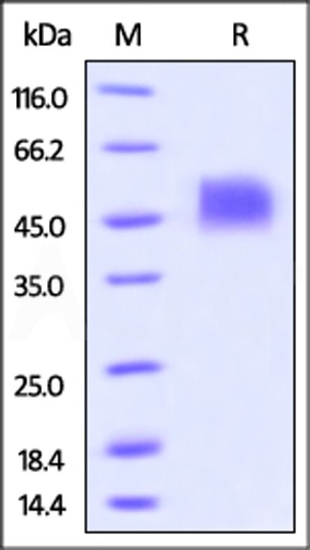 Biotinylated Human Siglec-3, Avitag,His Tag (Cat. No. CD3-H82E7) SDS-PAGE gel