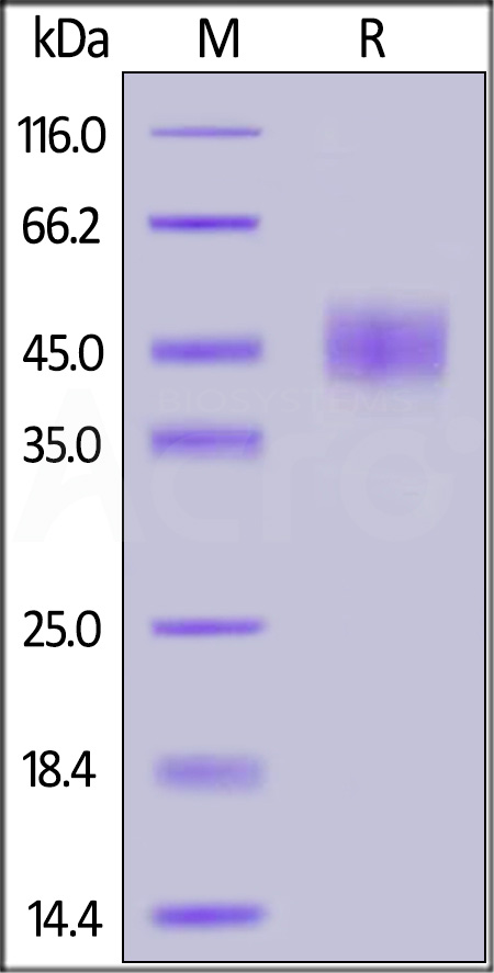 Human CD24, Mouse IgG2a Fc Tag (Cat. No. CD4-H5257) SDS-PAGE gel