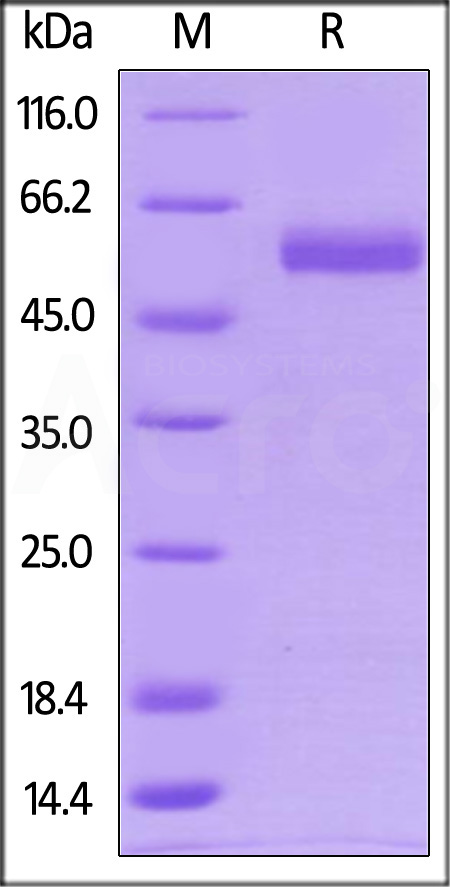 Biotinylated Human CD4, His Tag (Cat. No. CD4-H82E8) SDS-PAGE gel