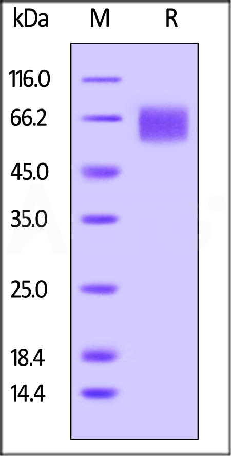 Biotinylated Human IL-6 R alpha, Avitag,His Tag (Cat. No. CD6-H82E8) SDS-PAGE gel
