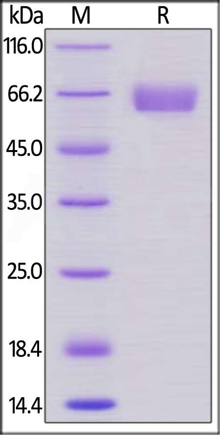 Human CD47, Llama IgG2b Fc Tag, low endotoxin (Cat. No. CD7-H5251) SDS-PAGE gel