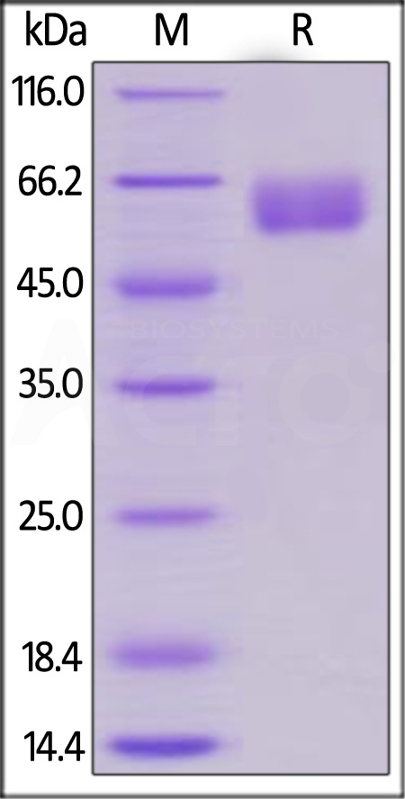 Human EMMPRIN, Fc Tag (Cat. No. CD7-H5259) SDS-PAGE gel