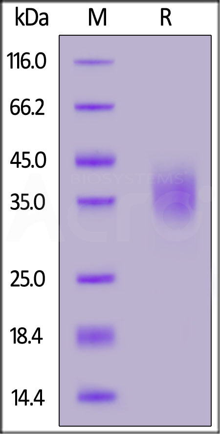 Biotinylated Human CD47, His Tag (Cat. No. CD7-H82E9) SDS-PAGE gel