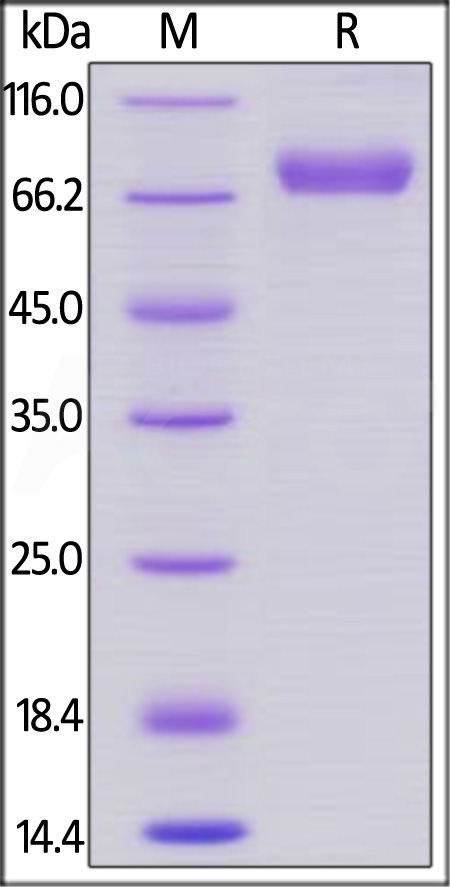 Human CD38, Llama IgG2b Fc Tag, low endotoxin (Cat. No. CD8-H5252) SDS-PAGE gel