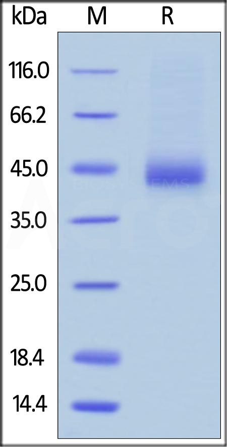 Biotinylated Human CD38, Avitag,His Tag (Cat. No. CD8-H82E7) SDS-PAGE gel