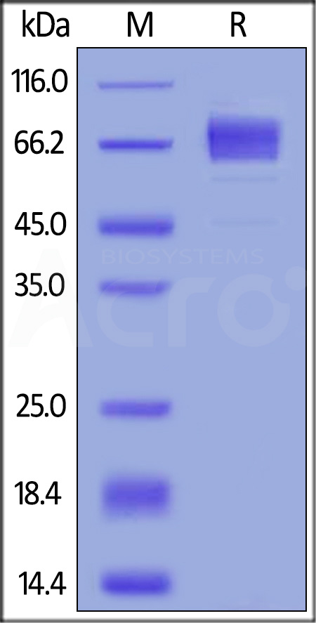 Human CD19 (20-291), Fc Tag, low endotoxin (Cat. No. CD9-H5259) SDS-PAGE gel