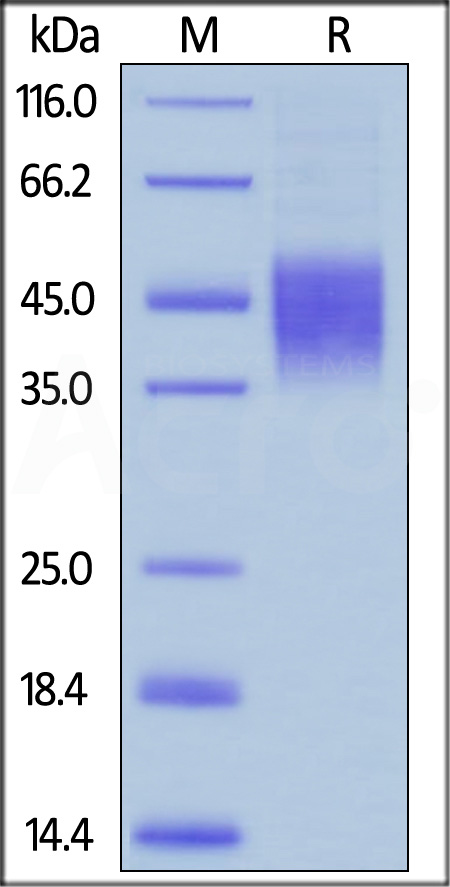 Biotinylated Human CD16b (NA2), His,Avitag (SPR & BLI verified) (Cat. No. CDB-H82Ea) SDS-PAGE gel