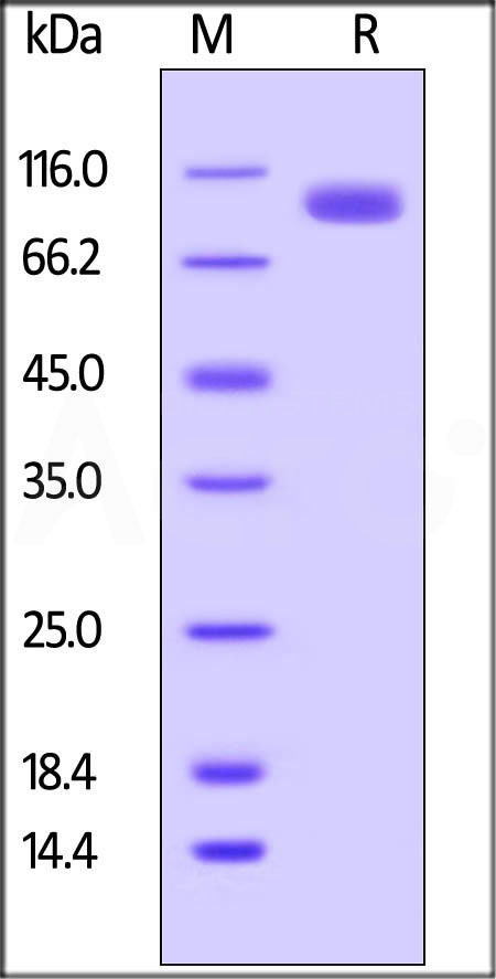 Biotinylated Human LILRB5, Fc,Avitag (Cat. No. CDC-H82F8) SDS-PAGE gel