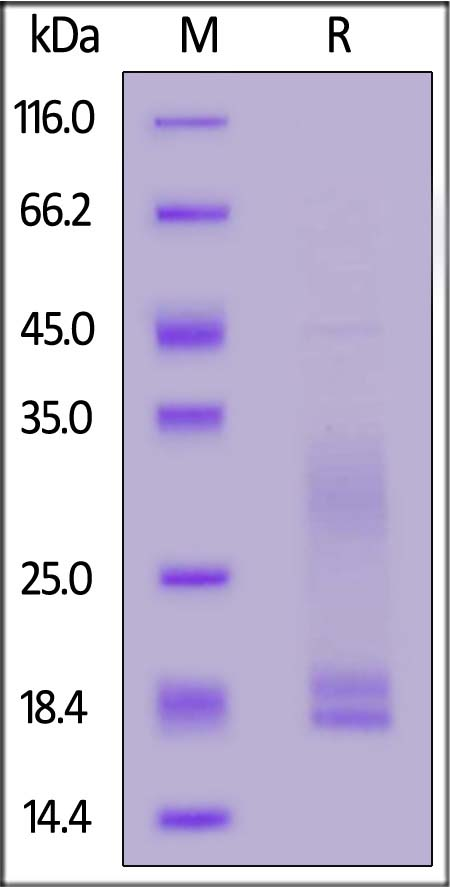 Cynomolgus CD3E&CD3D Heterodimer Protein, His Tag&Flag Tag (Cat. No. CDD-C52W4) SDS-PAGE gel