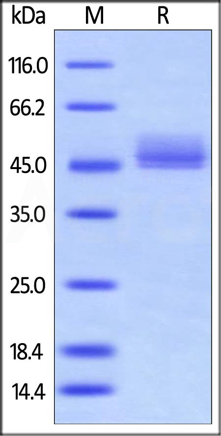 Human CD3E&CD3D Heterodimer Protein, Fc,His Tag&Fc,Flag Tag (Cat. No. CDD-H52W0) SDS-PAGE gel