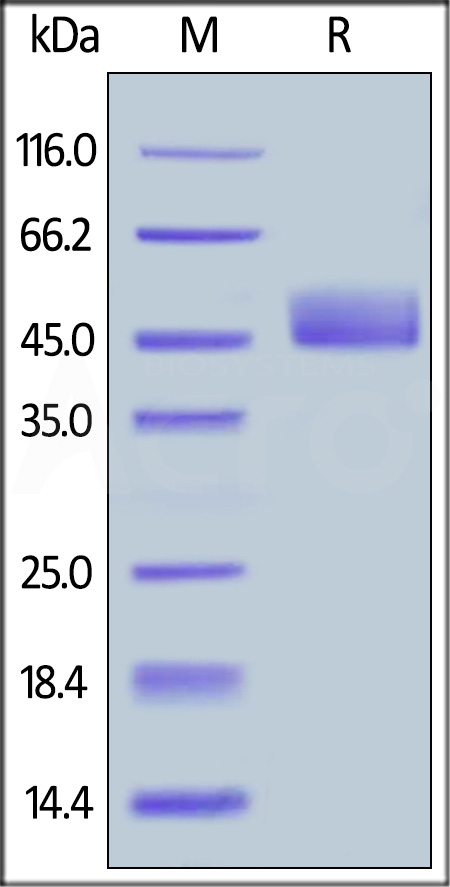 Biotinylated Human CD3E&CD3D Heterodimer Protein, Fc,His Tag&Fc,Flag Tag, primary amine labeling (Cat. No. CDD-H82W0) SDS-PAGE gel