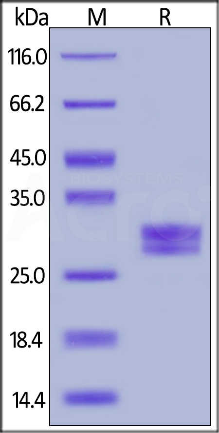 Biotinylated Human CD40 Ligand, His,Avitag (Cat. No. CDL-H82Q8) SDS-PAGE gel