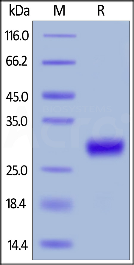Mouse CD27 Ligand, His Tag (active trimer) (MALS verified) (Cat. No. CDL-M5245) SDS-PAGE gel