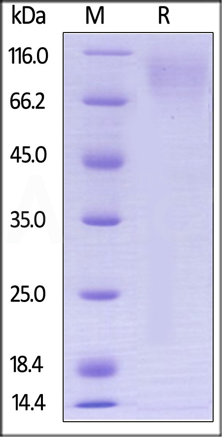 Biotinylated Human CEACAM-1, Avitag,His Tag (Cat. No. CE1-H82E5) SDS-PAGE gel
