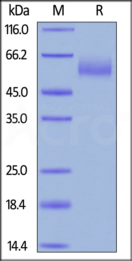 Biotinylated Human CEACAM-8, His,Avitag (Cat. No. CE8-H82E9) SDS-PAGE gel
