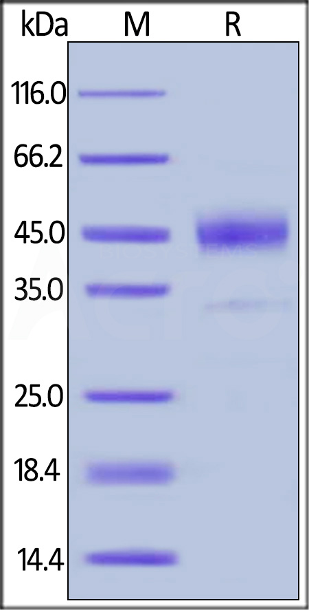 Human Cathepsin B, His Tag (Cat. No. CTB-H5222) SDS-PAGE gel