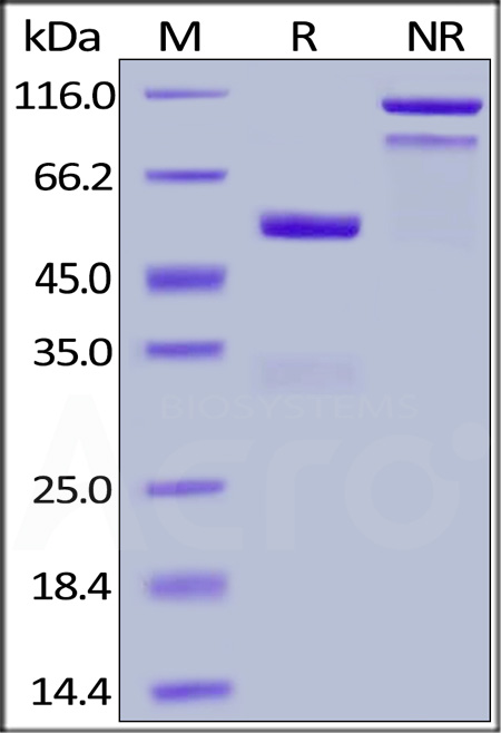 Human Ephrin-A1, Fc Tag (Cat. No. EF1-H5251) SDS-PAGE gel