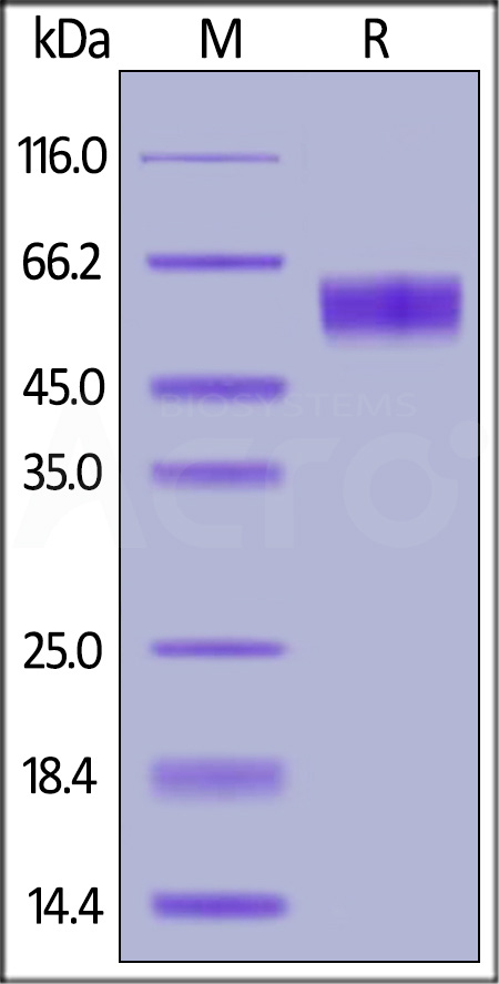Human Fas Protein, Fc Tag (MALS verified) (Cat. No. FAS-H5252) SDS-PAGE gel