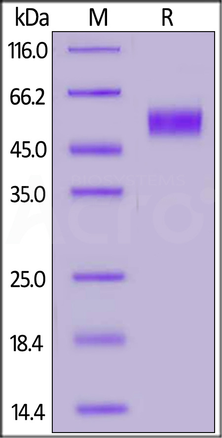 Biotinylated Human CD64, His,Avitag (Cat. No. FCA-H82E8) SDS-PAGE gel
