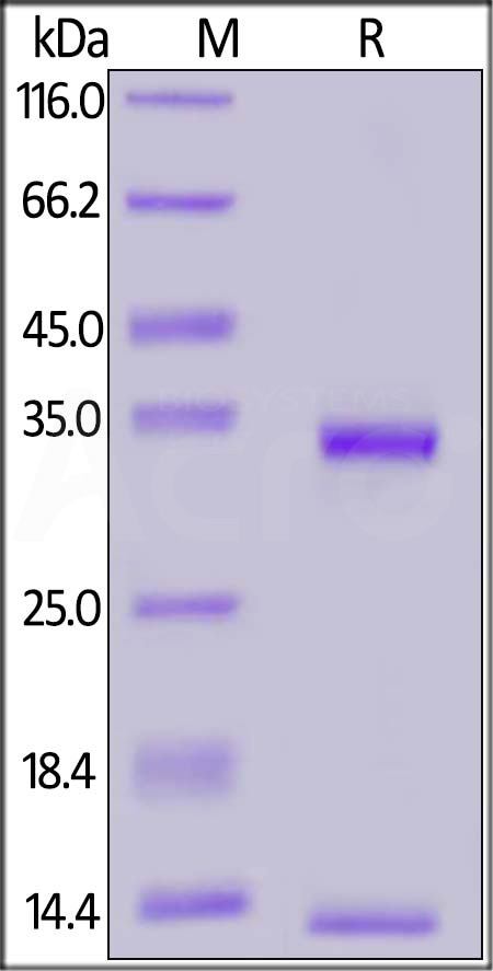 Porcine FCGRT&B2M Heterodimer Protein, His Tag&Strep II Tag (SPR verified) (Cat. No. FCM-P5280) SDS-PAGE gel
