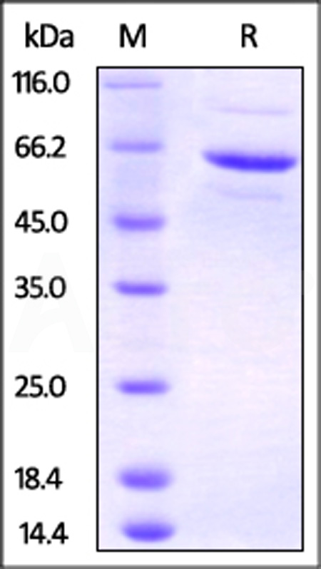Human FKBP4, His,PA Tag (Cat. No. FK4-H52Q3) SDS-PAGE gel