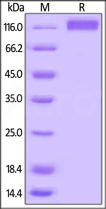 Biotinylated Human VEGF R3, His,Avitag (Cat. No. FL4-H82E1) SDS-PAGE gel