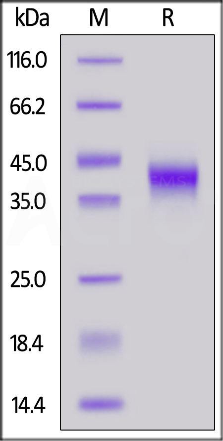 Biotinylated Human FOLR1, His,Avitag (Cat. No. FO1-H82E2) SDS-PAGE gel