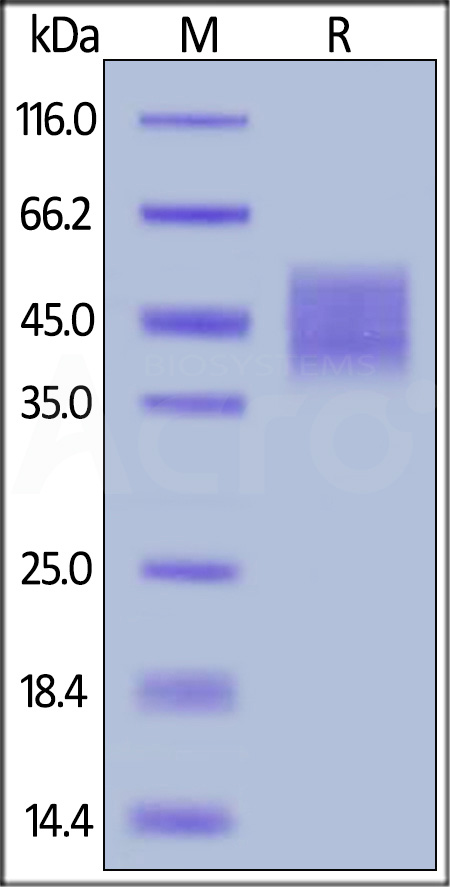 Biotinylated Human GHR, His Tag, ultra sensitivity (primary amine labeling) (Cat. No. GHR-H8222) SDS-PAGE gel