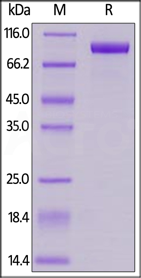 Cynomolgus Her2 (Cat. No. HE2-C52Hb) SDS-PAGE gel
