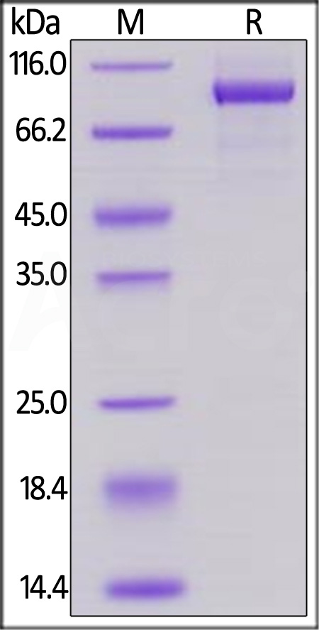 Biotinylated Human Her2, His,Avitag (Cat. No. HE2-H82E2) SDS-PAGE gel
