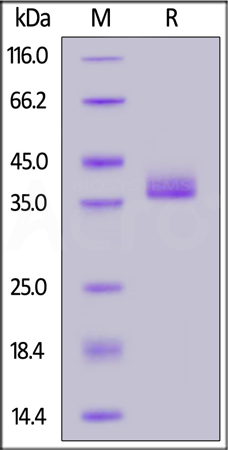 Human IgG3 Fc, Tag Free (SPR verified) (Cat. No. IG3-H5200) SDS-PAGE gel